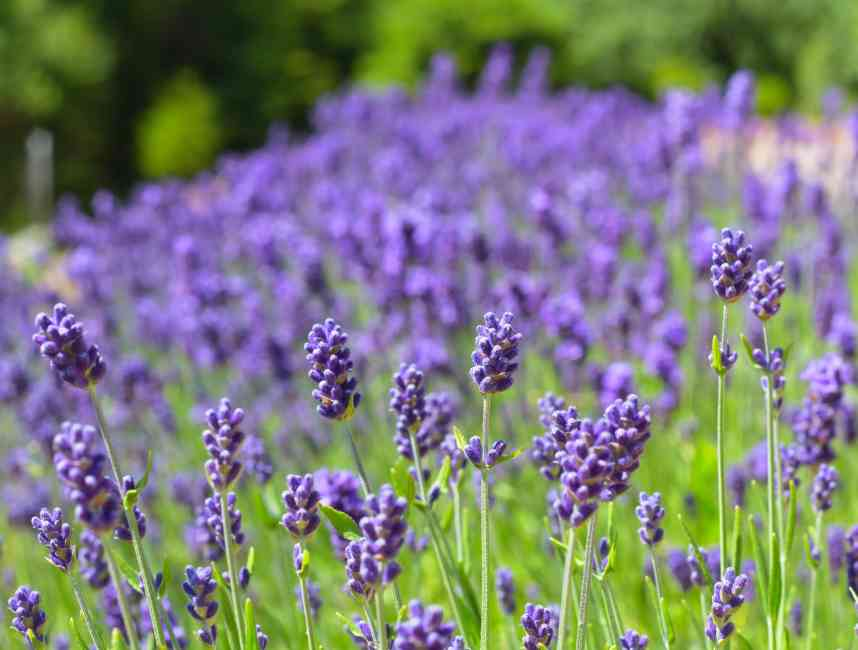 Picture of a field of Lavender flower.
